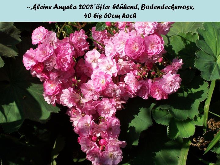"""--""""kleine Angela 2008""""öfter blühend, Bodendeckerrose,"""