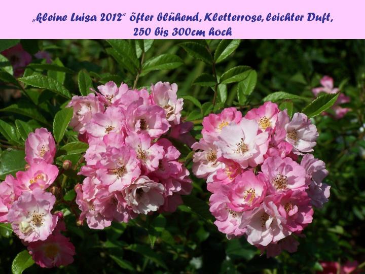 """""""kleine Luisa 2012"""" öfter blühend, Kletterrose, leichter Duft,"""