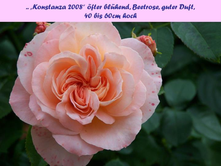 """.. """"Konstanza 2008"""" öfter blühend, Beetrose, guter Duft,"""