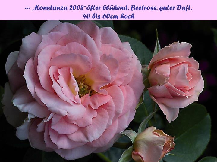 """--- """"Konstanza 2008""""öfter blühend, Beetrose, guter Duft,"""
