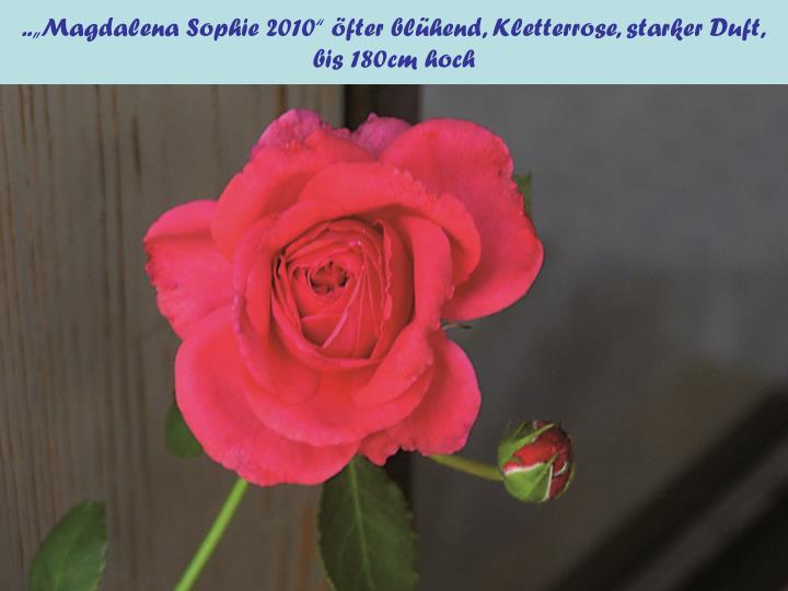 """..""""Magdalena Sophie 2010"""" öfter blühend, Kletterrose, starker Duft,"""