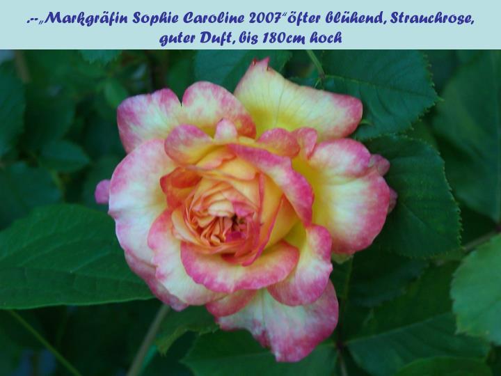 """.--""""Markgräfin Sophie Caroline 2007""""öfter blühend, Strauchrose,"""