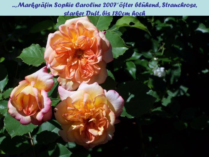 """..""""Markgräfin Sophie Caroline 2007""""öfter blühend, Strauchrose,"""