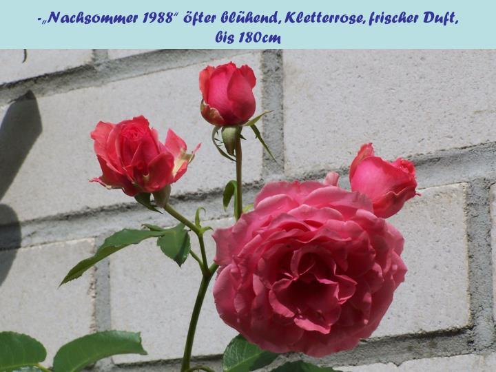 """-""""Nachsommer 1988"""" öfter blühend, Kletterrose, frischer Duft,"""