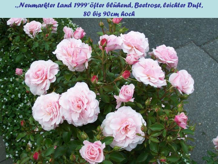 """.""""Neumarkter Land 1999""""öfter blühend, Beetrose, leichter Duft,"""