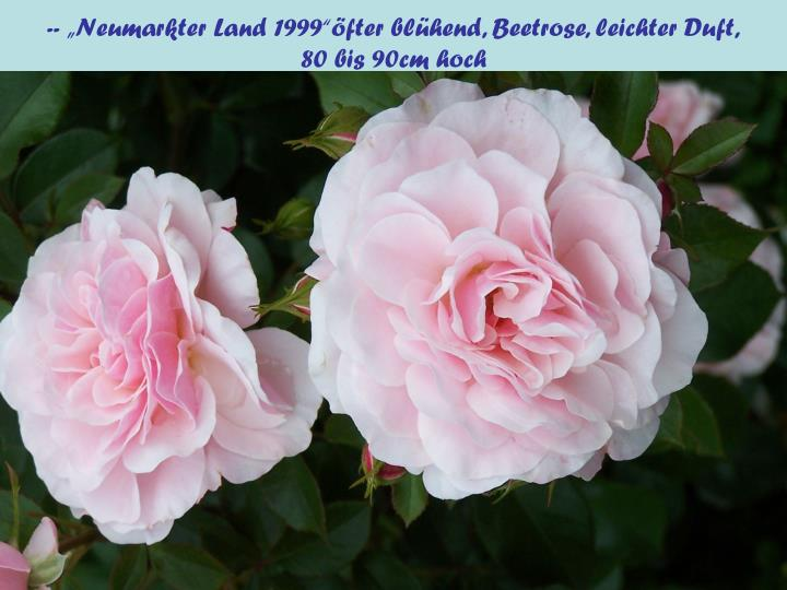"""-- """"Neumarkter Land 1999""""öfter blühend, Beetrose, leichter Duft,"""