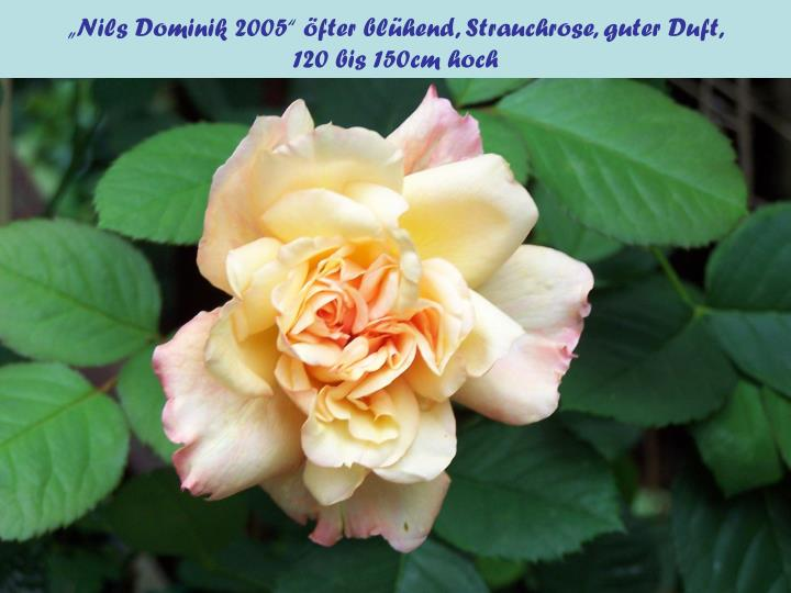 """""""Nils Dominik 2005"""" öfter blühend, Strauchrose, guter Duft,"""