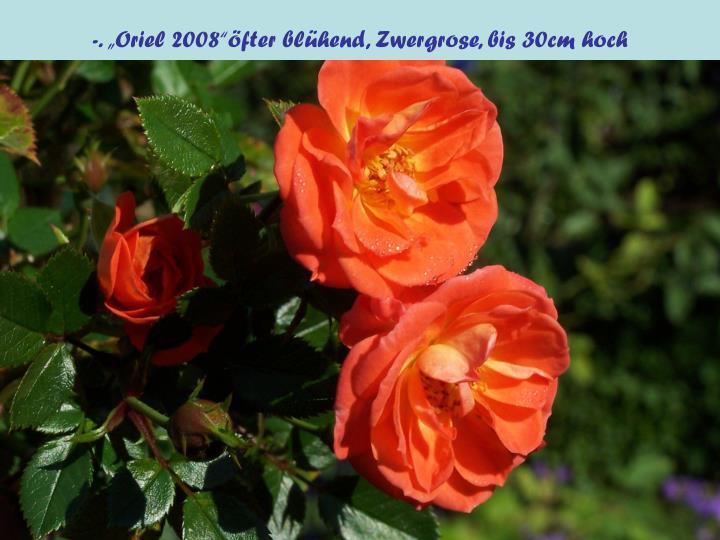 """-. """"Oriel 2008""""öfter blühend, Zwergrose, bis 30cm hoch"""