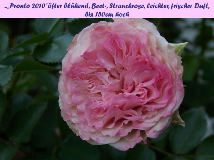 """..""""Pronto 2010""""öfter blühend, Beet-, Strauchrose, leichter, frischer Duft,"""