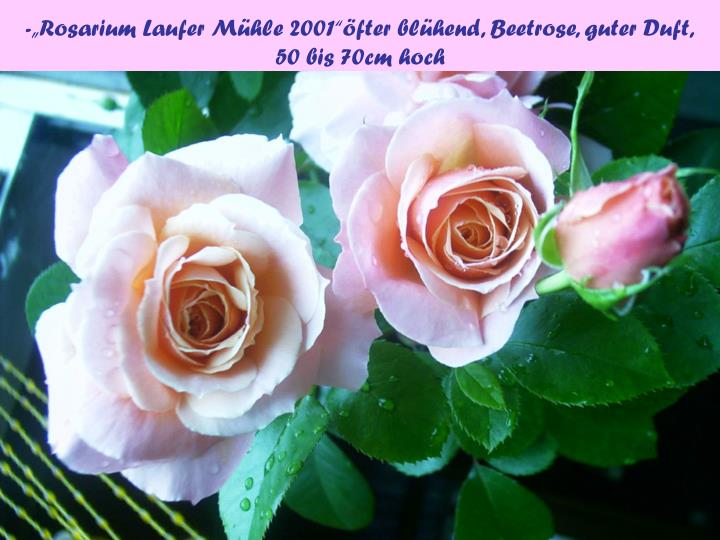 "-""Rosarium Laufer Mühle 2001""öfter blühend, Beetrose, guter Duft,"