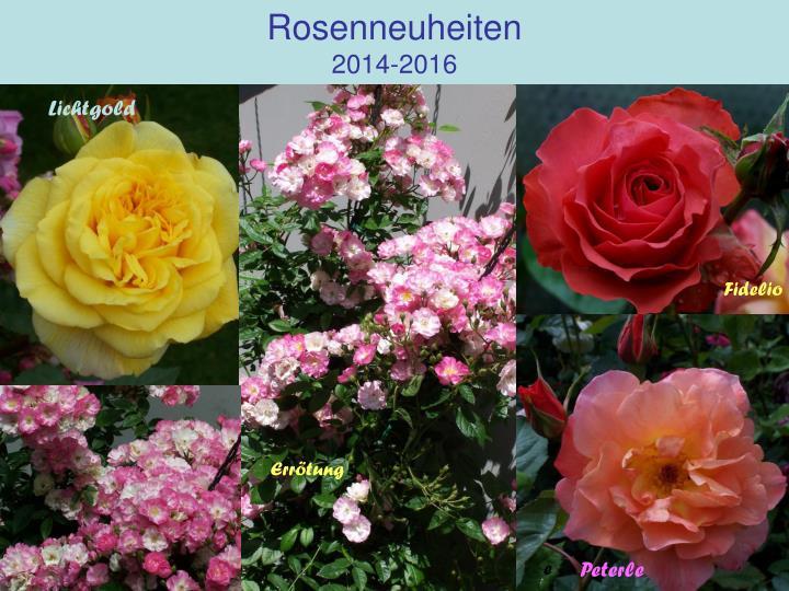 Rosenneuheiten