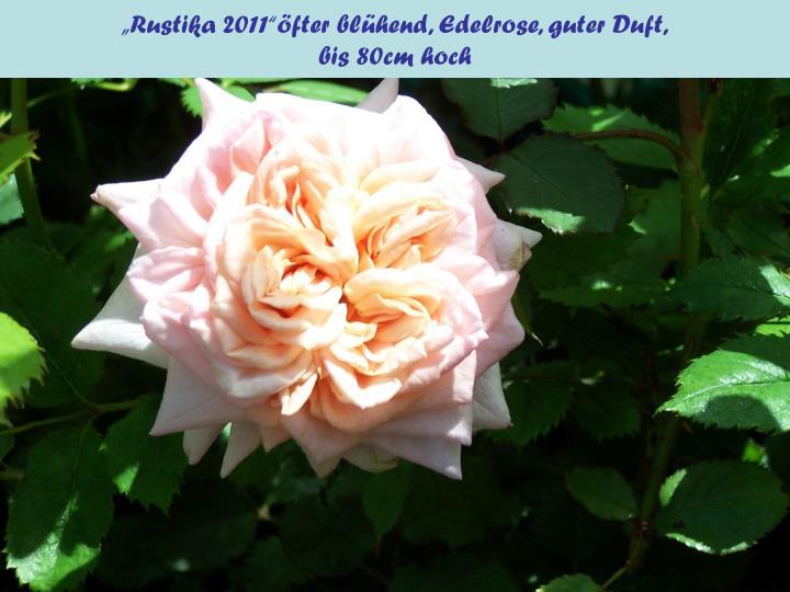 """""""Rustika 2011""""öfter blühend, Edelrose, guter Duft,"""