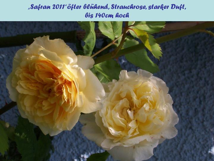 """""""Safran 2011""""öfter blühend, Strauchrose, starker Duft,"""