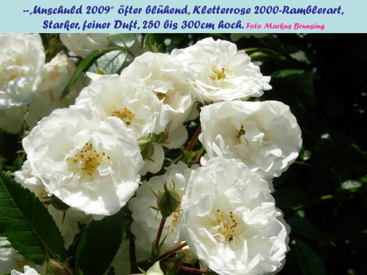 "--""Unschuld 2009"" öfter blühend, Kletterrose 2000-Ramblerart,"