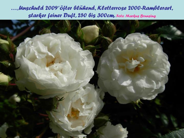 "…""Unschuld 2009""öfter blühend, Kletterrose 2000-Ramblerart,"