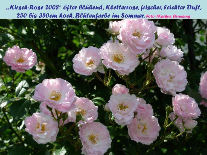 ".""Kirsch-Rose 2008"" öfter blühend, Kletterrose, frischer, leichter Duft,"