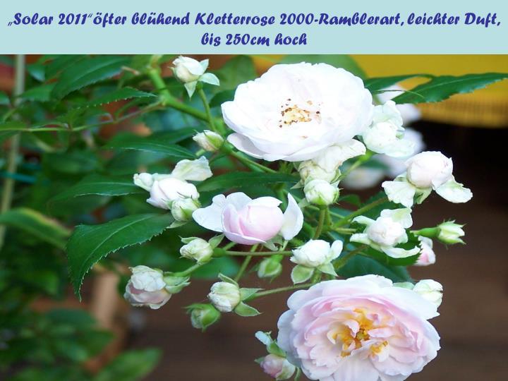 """Solar 2011""öfter blühend Kletterrose 2000-Ramblerart, leichter Duft,"