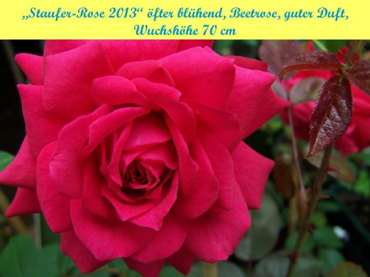 """""""Staufer-Rose 2013"""" öfter blühend, Beetrose, guter Duft, Wuchshöhe 70 cm"""