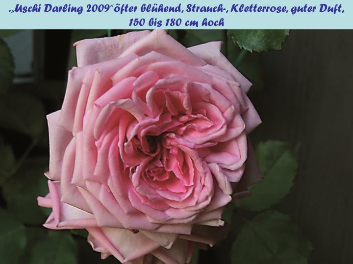 """.""""Uschi Darling 2009""""öfter blühend, Strauch-, Kletterrose, guter Duft,"""
