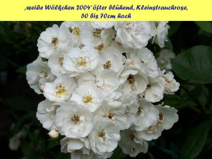 """""""weiße Wölkchen 2004""""öfter blühend, Kleinstrauchrose,"""
