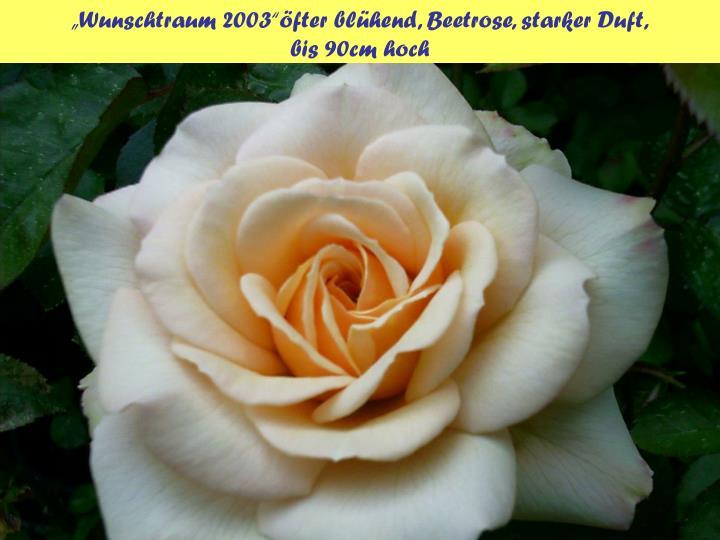 """""""Wunschtraum 2003""""öfter blühend, Beetrose, starker Duft,"""