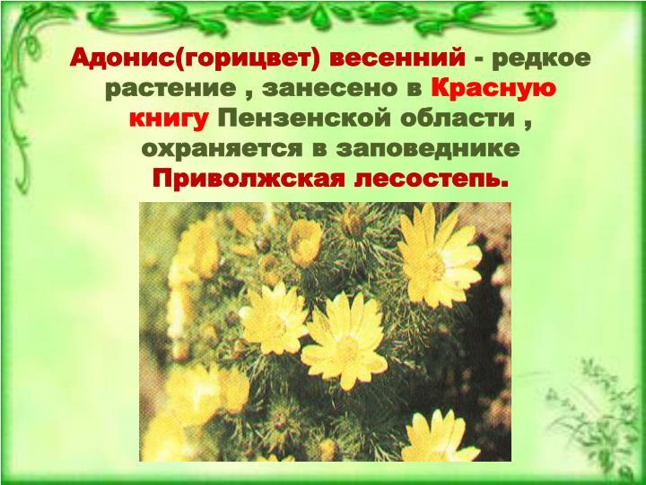 Адонис(горицвет) весенний