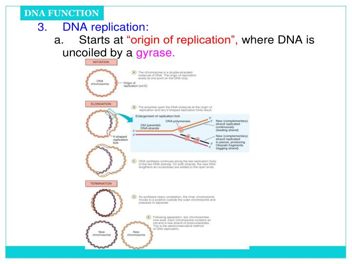 DNA FUNCTION