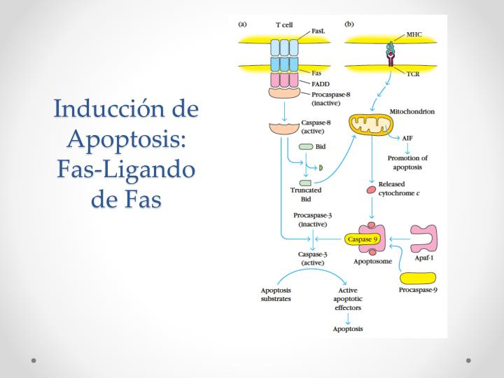 Inducción de Apoptosis: Fas-Ligando de Fas