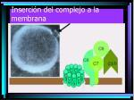 inserci n del complejo a la membrana4
