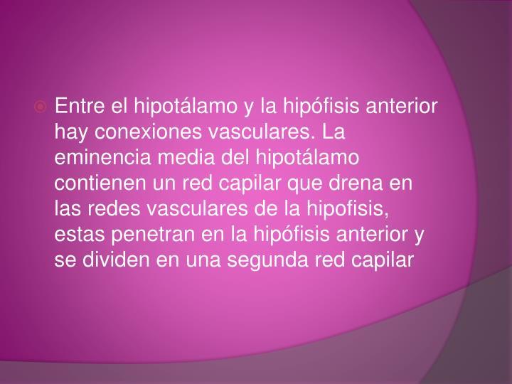 Entre el hipotálamo y la hipófisis anterior hay conexiones vasculares. La eminencia media del hipotálamo contienen un red capilar que drena en las redes vasculares de la