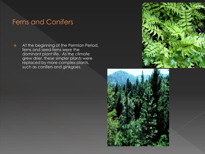 Ferns and Conifers