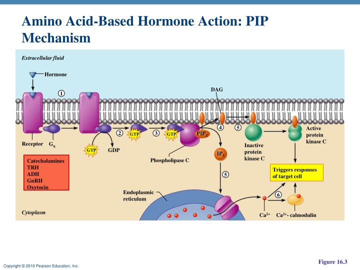 Amino Acid-Based Hormone Action: PIP Mechanism