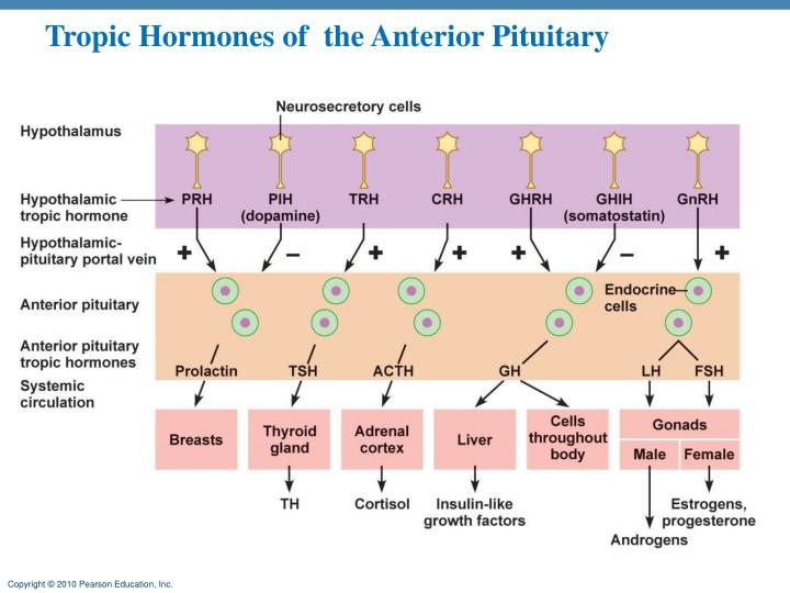 Tropic Hormones of