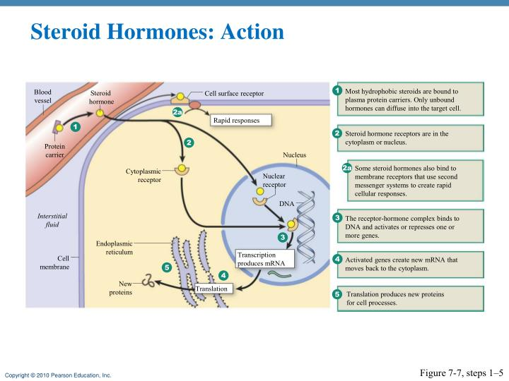 Steroid Hormones: Action