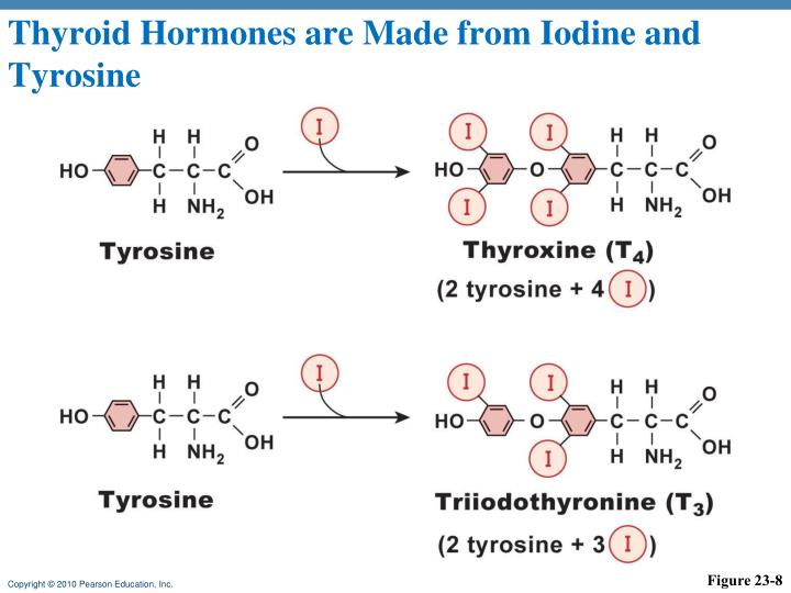 Thyroid Hormones are Made from Iodine and Tyrosine