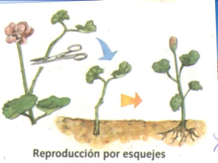 Reproducció