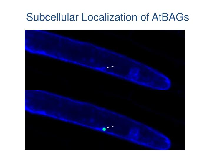 Subcellular Localization of AtBAGs