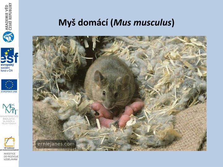 Myš domácí (