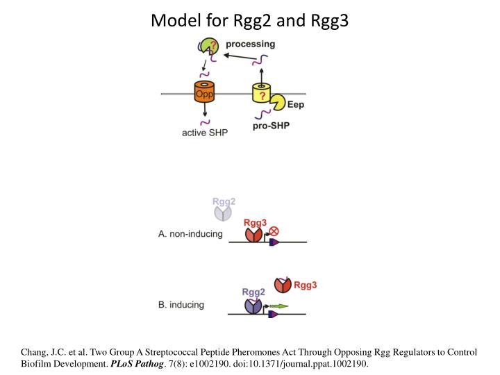 Model for Rgg2 and Rgg3