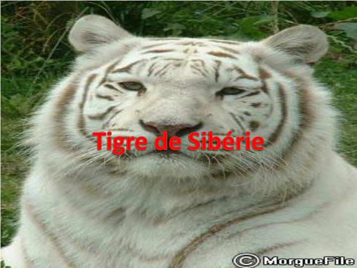 Tigre de