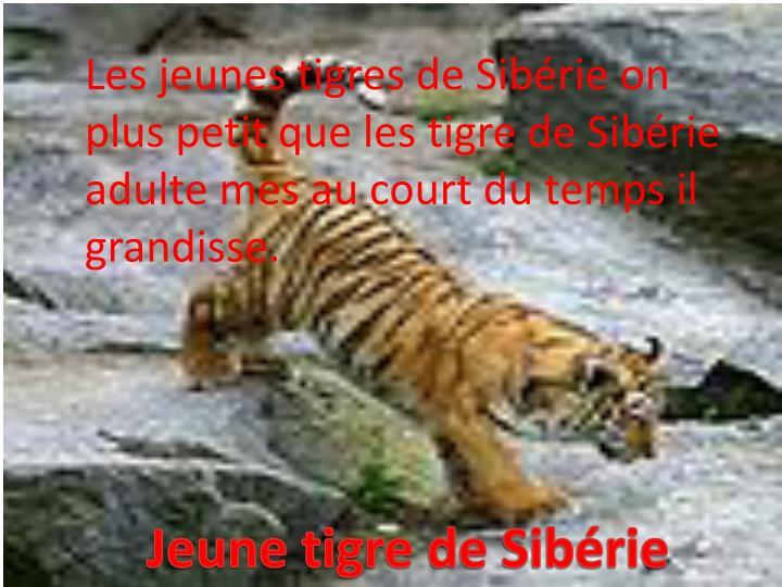 Les jeunes tigres de Sibérie on plus petit que les tigre de Sibérie adulte mes au court du temps il grandisse.