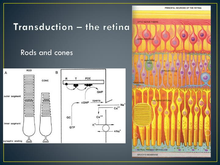 Transduction – the retina