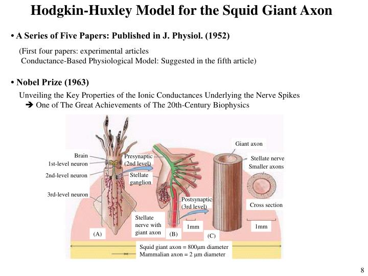 Hodgkin-Huxley Model for the Squid Giant Axon