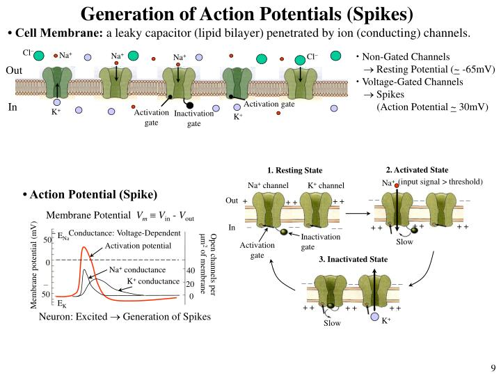 Generation of Action Potentials (Spikes)