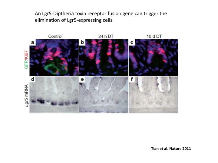 An Lgr5-Diptheria toxin receptor fusion gene can trigger the elimination of Lgr5-expressing cells