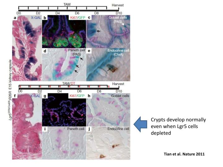 Crypts develop normally even when Lgr5 cells depleted