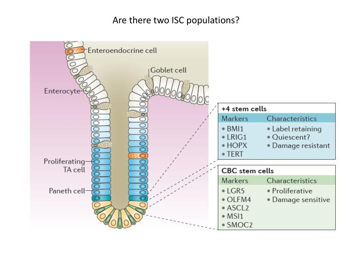 Are there two ISC populations?