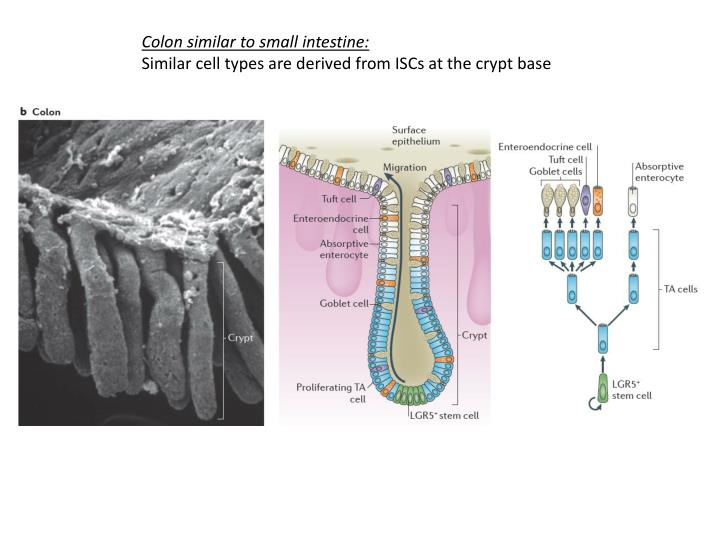 Colon similar to small intestine: