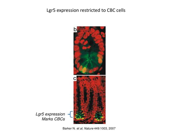 Lgr5 expression restricted to CBC cells