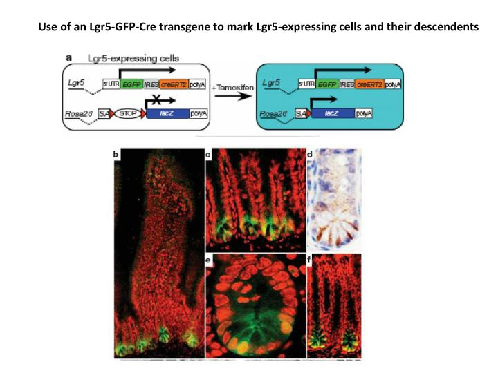 Use of an Lgr5-GFP-Cre